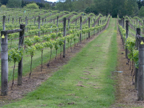 West Auckland Vineyard August 2009-2